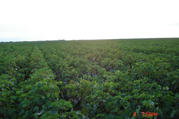 Cotton Field AC Watershed
